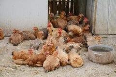 κότες Στοκ εικόνα με δικαίωμα ελεύθερης χρήσης