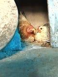 Κότες Chitchating στοκ φωτογραφίες με δικαίωμα ελεύθερης χρήσης
