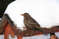 Κότσυφας και χιόνι Στοκ Φωτογραφίες