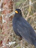 Κότσυφας πουλιών Στοκ φωτογραφίες με δικαίωμα ελεύθερης χρήσης