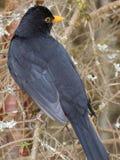 Κότσυφας πουλιών Στοκ Εικόνες