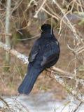 Κότσυφας πουλιών Στοκ Φωτογραφίες