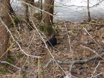 Κότσυφας πουλιών Στοκ εικόνα με δικαίωμα ελεύθερης χρήσης