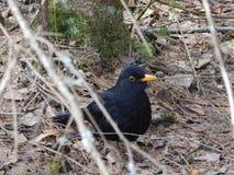 Κότσυφας πουλιών Στοκ Εικόνα