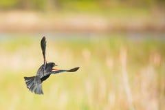 Κότσυφας που πετά, πάρκο λιβαδιών Huntley, Άρλινγκτον, VA Στοκ Φωτογραφίες