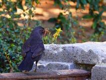 Κότσυφας που τρώει μια κάμπια στοκ φωτογραφίες