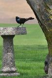 Κότσυφας σε ένα λουτρό πουλιών Στοκ εικόνα με δικαίωμα ελεύθερης χρήσης