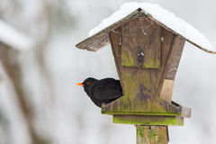 Κότσυφας σε ένα birdfeeder Στοκ Εικόνα