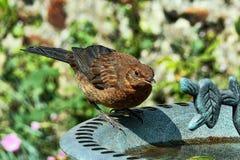 Κότσυφας στο Birdbath Στοκ φωτογραφία με δικαίωμα ελεύθερης χρήσης