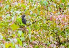Κότσυφας Juvenie στη φθινοπωρινή βλάστηση Στοκ Εικόνες
