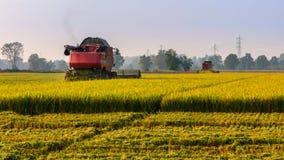 Κόψτε ένα ρύζι Στοκ εικόνες με δικαίωμα ελεύθερης χρήσης