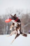 Σκυλί που πηδά και που πιάνει έναν πετώντας δίσκο στον αέρα Στοκ Φωτογραφίες