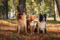 Κόλλεϊ συνόρων φυλής σκυλιών και γερμανικοί ποιμένας και Retriever διοδίων παπιών της Νέας Σκοτίας Στοκ Εικόνες