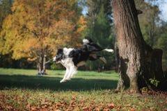 Κόλλεϊ συνόρων φυλής σκυλιών Στοκ Εικόνες