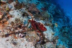 κόλπων χταποδιών καρχαρίας θάλασσας σκοπέλων s που λαμβάνεται κόκκινος στοκ εικόνα με δικαίωμα ελεύθερης χρήσης