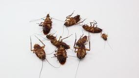 Κύβος κατσαρίδων από τους ψεκασμούς ζωύφιου απόθεμα βίντεο