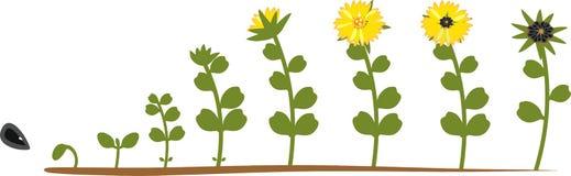 Κύκλος ζωής ηλίανθων Στάδια αύξησης από τη σπορά στο άνθισμα και το fruit-bearing φυτό διανυσματική απεικόνιση