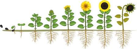 Κύκλος ζωής ηλίανθων Στάδια αύξησης από το σπόρο στο άνθισμα και το fruit-bearing φυτό με το σύστημα ρίζας απεικόνιση αποθεμάτων
