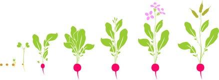 Κύκλος ζωής ραδικιών Διαδοχικά στάδια της αύξησης από το σπόρο στο άνθισμα και το fruit-bearing φυτό ελεύθερη απεικόνιση δικαιώματος