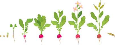 Κύκλος ζωής ραδικιών Διαδοχικά στάδια της αύξησης από το σπόρο στο άνθισμα και το fruit-bearing φυτό διανυσματική απεικόνιση