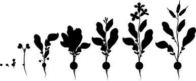 Κύκλος ζωής ραδικιών Σκιαγραφίες των διαδοχικών σταδίων της αύξησης από το σπόρο στο άνθισμα και το fruit-bearing φυτό απεικόνιση αποθεμάτων