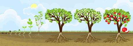 Κύκλος ζωής του δέντρου μηλιάς Στάδια της αύξησης από το σπόρο στις ενήλικες εγκαταστάσεις με τα φρούτα απεικόνιση αποθεμάτων