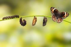 Κύκλος ζωής του θηλυκού μπλε pansy orithya Linn Junonia πεταλούδων Στοκ Εικόνα