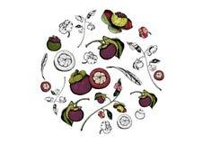 Κύκλος των πορφυρών mangosteen φρούτων και των στοιχείων λουλουδιών, χέρι που σύρεται και που χρωματίζεται ελεύθερη απεικόνιση δικαιώματος