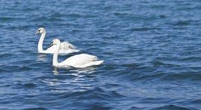 κύκνοι δύο λευκό Στοκ φωτογραφίες με δικαίωμα ελεύθερης χρήσης