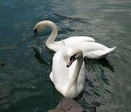 κύκνοι δύο λιμνών λευκό Στοκ φωτογραφία με δικαίωμα ελεύθερης χρήσης