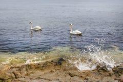 Κύκνοι εν πλω Στοκ φωτογραφία με δικαίωμα ελεύθερης χρήσης