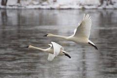 κύκνοι ζευγαριού προσγείωσης Στοκ Φωτογραφίες