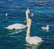 Κύκνοι και γλάροι στη λίμνη Γενεύη Στοκ Εικόνα