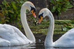 Κύκνοι καρδιών αγάπης Στοκ εικόνα με δικαίωμα ελεύθερης χρήσης