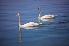 κύκνοι λιμνών ζευγών ohrid Στοκ φωτογραφίες με δικαίωμα ελεύθερης χρήσης