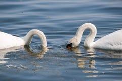 κύκνοι λιμνών Στοκ Εικόνα