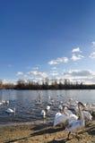 κύκνοι λιμνών Στοκ Φωτογραφίες