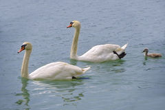 Κύκνοι με έναν νεοσσό στο νερό Στοκ εικόνα με δικαίωμα ελεύθερης χρήσης
