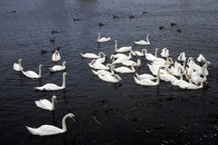 κύκνοι παπιών Στοκ φωτογραφία με δικαίωμα ελεύθερης χρήσης