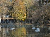Κύκνοι που επιπλέουν σε μια μικρή λίμνη στοκ εικόνα
