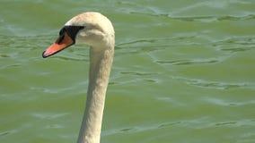 Κύκνοι, πουλιά, ζώα, άγρια φύση απόθεμα βίντεο