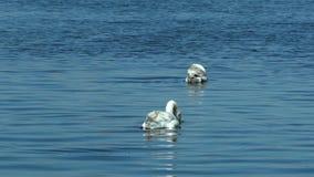 Κύκνοι που κολυμπούν την όμορφη ηλιόλουστη ημέρα λιμνών φιλμ μικρού μήκους