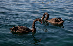 κύκνοι που κολυμπούν δύ&omicron Στοκ Εικόνα