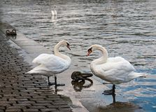 κύκνοι Πράγα Ο ποταμός Vltava στοκ φωτογραφία με δικαίωμα ελεύθερης χρήσης