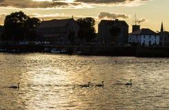 Κύκνοι σε ένα ηλιοβασίλεμα Claddagh, Ιρλανδία Στοκ φωτογραφία με δικαίωμα ελεύθερης χρήσης