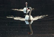 Κύκνοι σε μια λίμνη στοκ εικόνες