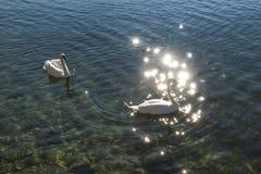 Κύκνοι στα απεικονισμένα νερά λιμνών Στοκ Εικόνες
