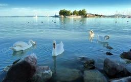 Κύκνοι στη λίμνη balaton στοκ εικόνες