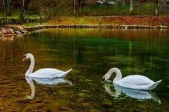 Κύκνοι στη λίμνη Στοκ Φωτογραφία