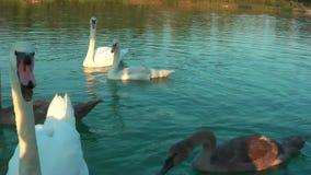 Κύκνοι στη λίμνη φιλμ μικρού μήκους